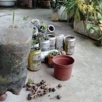 Cách lấy hạt cây Cọ nảy mầm tự nhiên về trồng