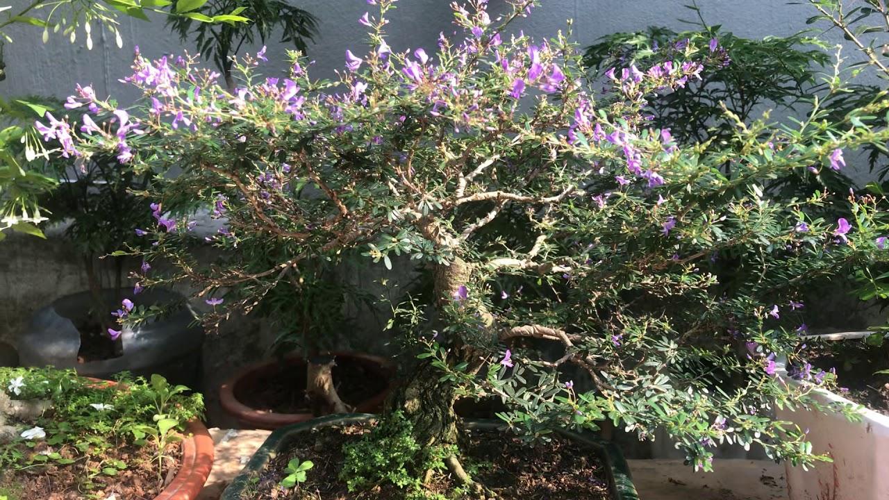 Cách phân biệt cây linh Lam Tự nhiên và Cây Linh Sam Công Nghiệp