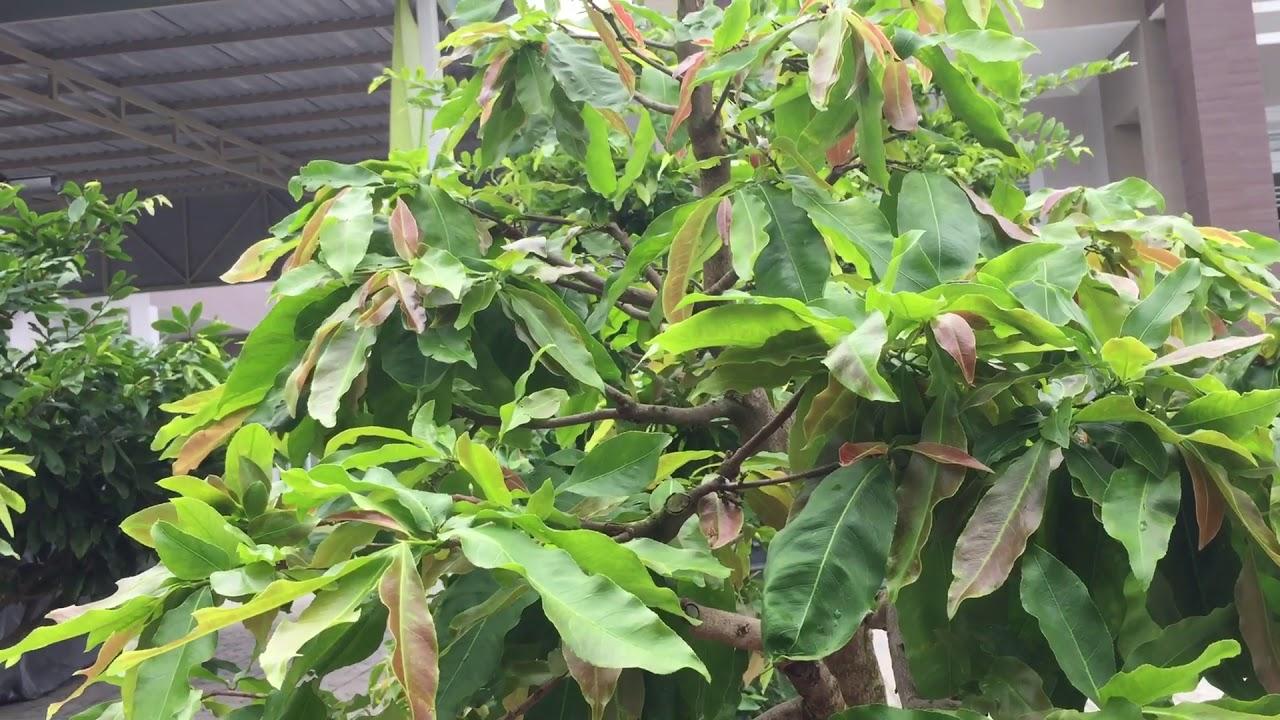 Cách pha phân tưới và rải phân sống cho cây mai nuôi chậu 2019-2020 3 Định 0985268452