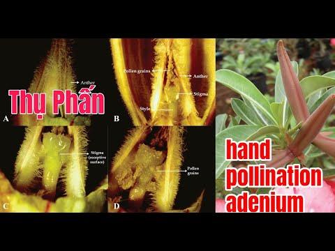 Cách thụ phấn cho cây sứ - Tip: hand pollination adenium