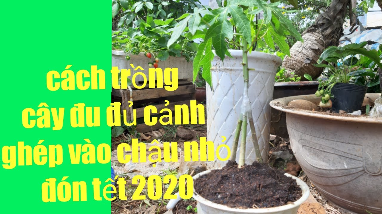 Cách trồng cây đu đủ cảnh ghép vào chậu nhỏ đón tết 2020