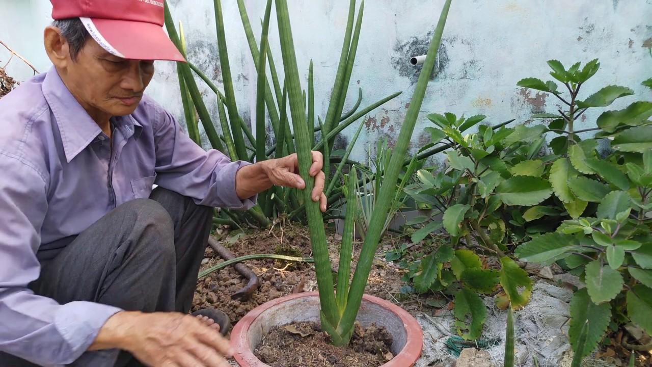 Cách trồng cây ngà voi vào chậu chơi Tết