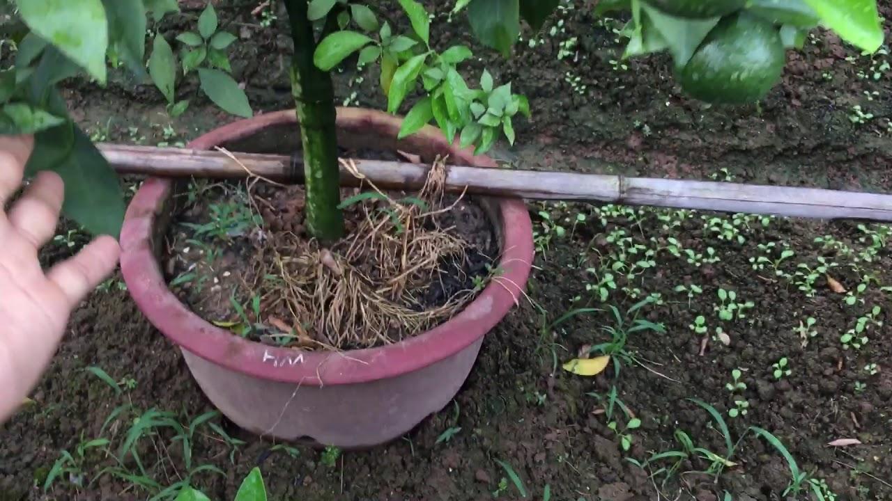 Cách trồng cam cảnh trên chậu sai quả năng xuất cao