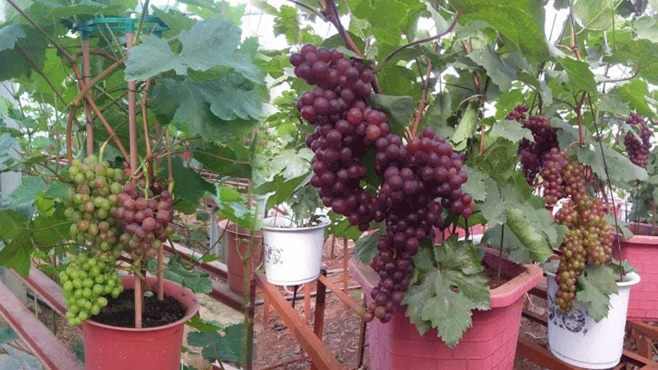 Cách trồng nho pháp trong chậu sai trĩu quả | Trồng nho pháp tại nhà