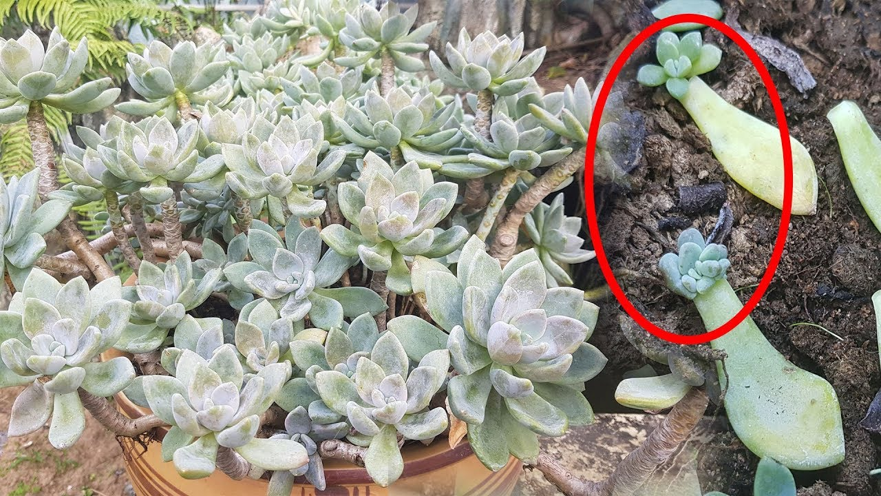 Cách trồng sen đá từ lá và cành - trồng rau trên sân thượng