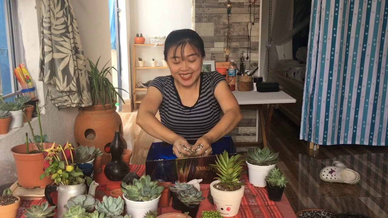 Cách trồng sen đá
