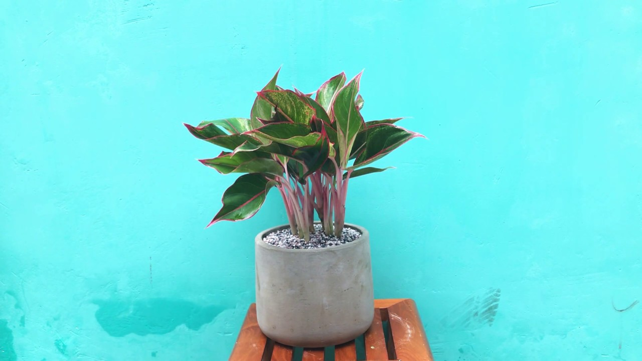 Cách trồng và chăm sóc cây phú quý