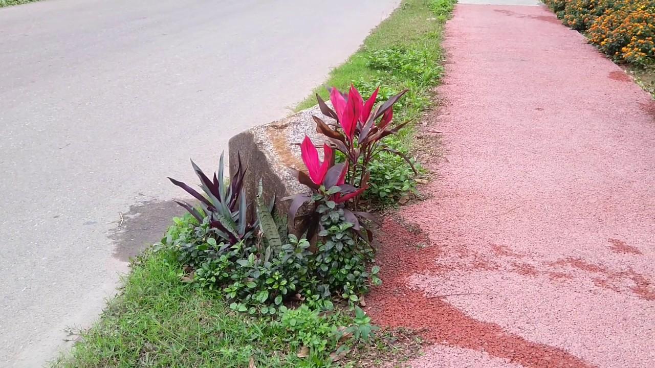 Cách trồng và tạo cảnh sân vườn với cây sò huyết