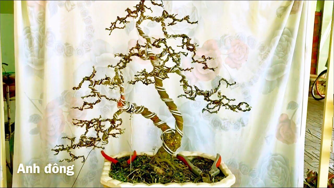 Cách uốn cây bonsai có  hai thân