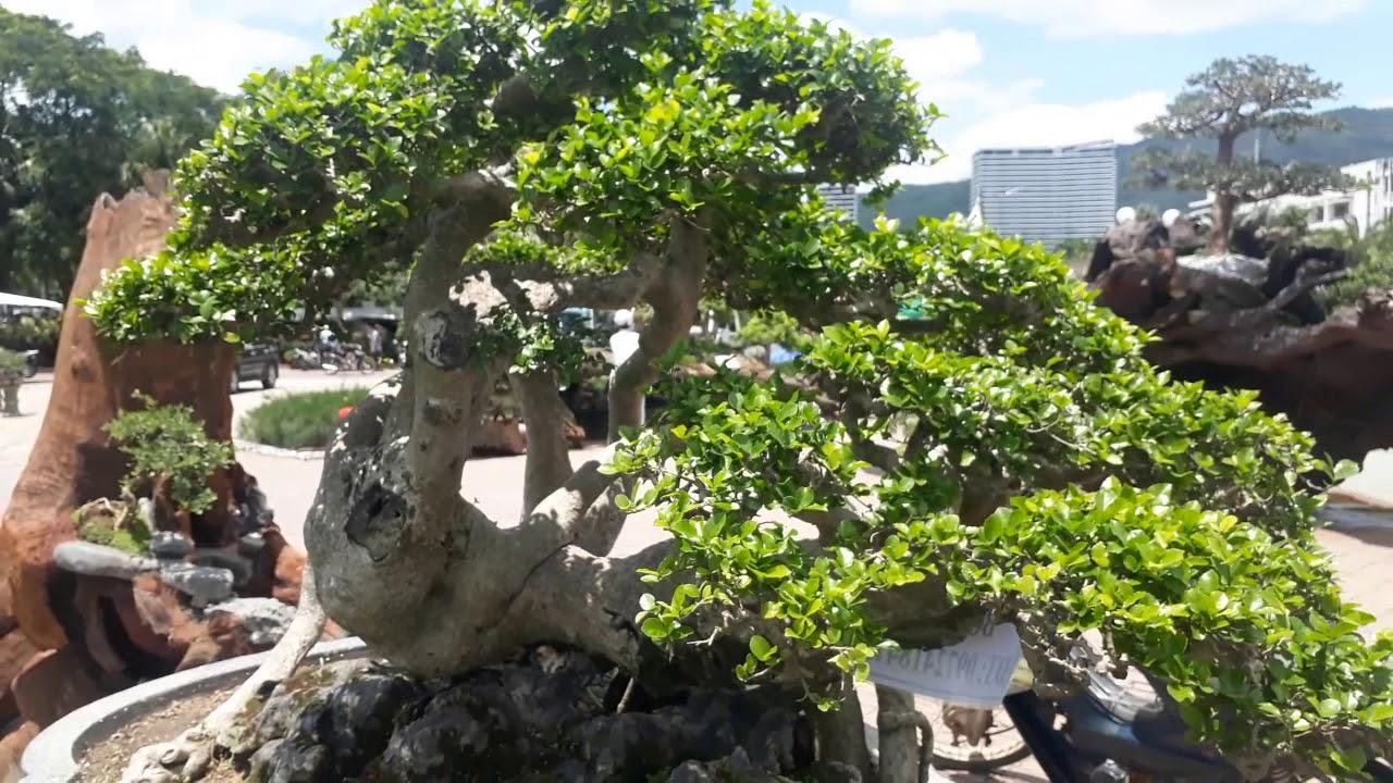 Cây Cảnh Bonsai Đẹp ở Triển Lãm Sinh Vật Cảnh Quy Nhơn Lần 3 năm 2019
