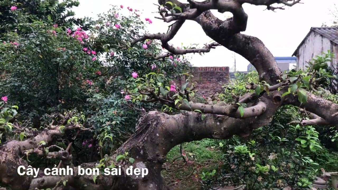 Cây Cảnh, Cây Xanh Bon Sai Đẹp Tại Vườn Cây An Thượng Hoài Đức Hà Nội