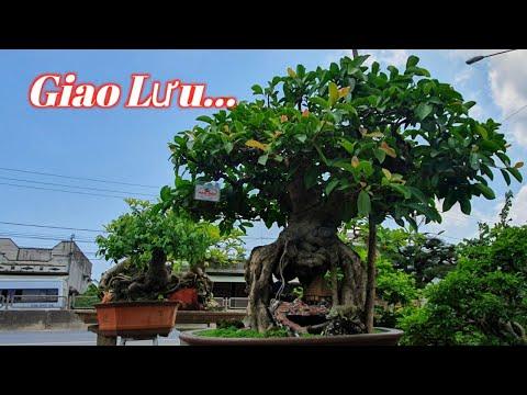 Cây Gừa Bonsai Đã Được Triển Lãm Nhiều Nơi Vì Nghệ Thuật Độc Đáo Chùa Hang ( Năm Đức 0915 065 267 )