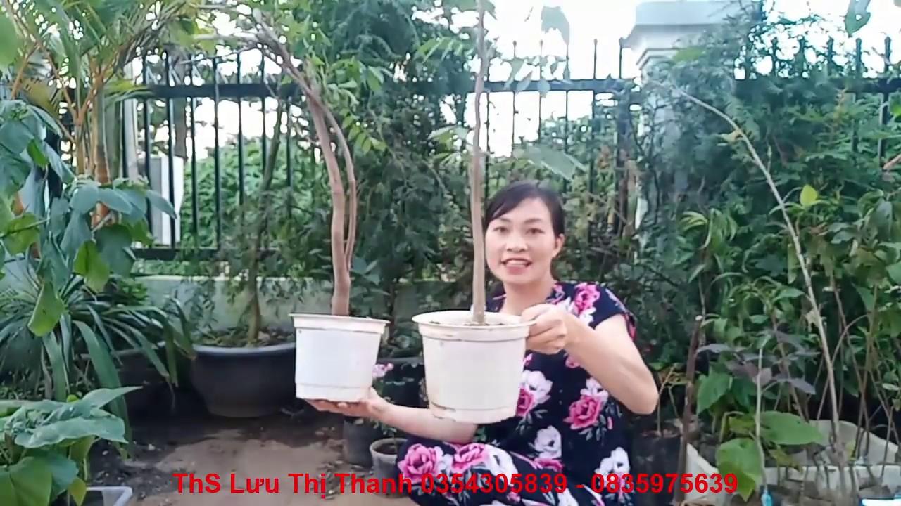 Cây Hoa Tử Đằng Bonsai Nhật trồng chậu làm cảnh rất đẹp 0354305839 - 0835975639