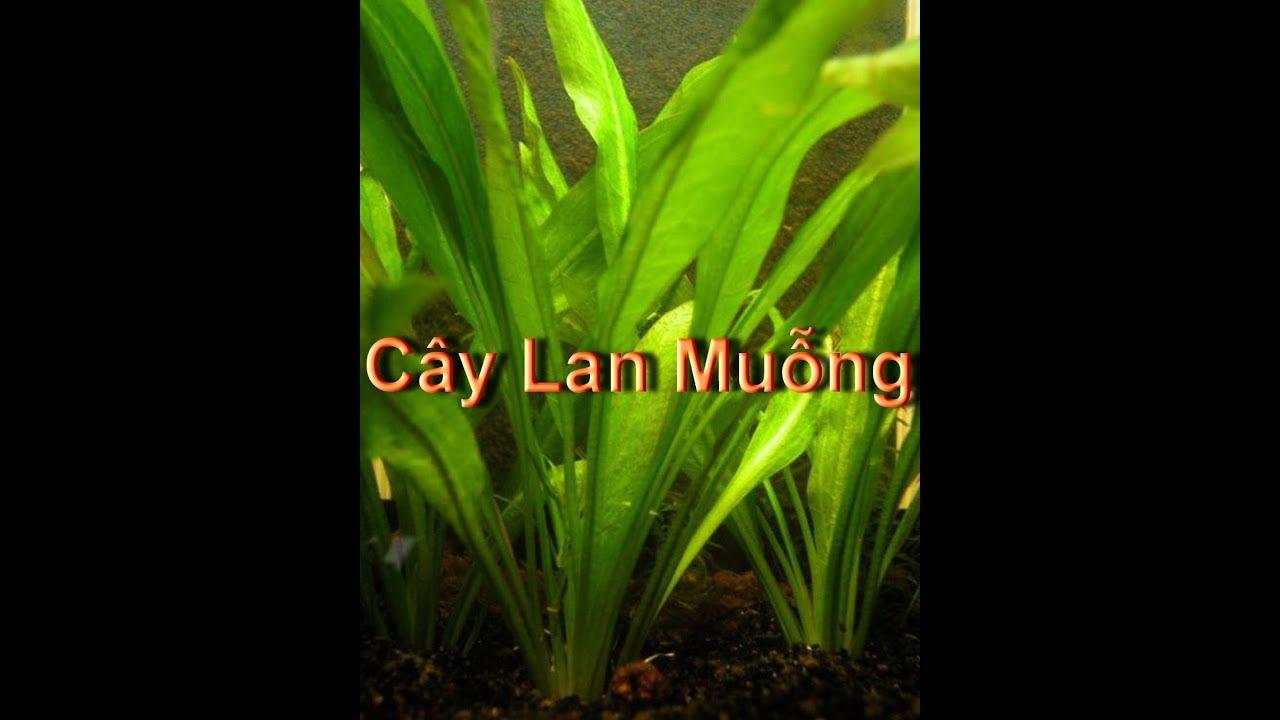 Cây Lan Muỗng thủy sinh dễ trồng (VietSub)