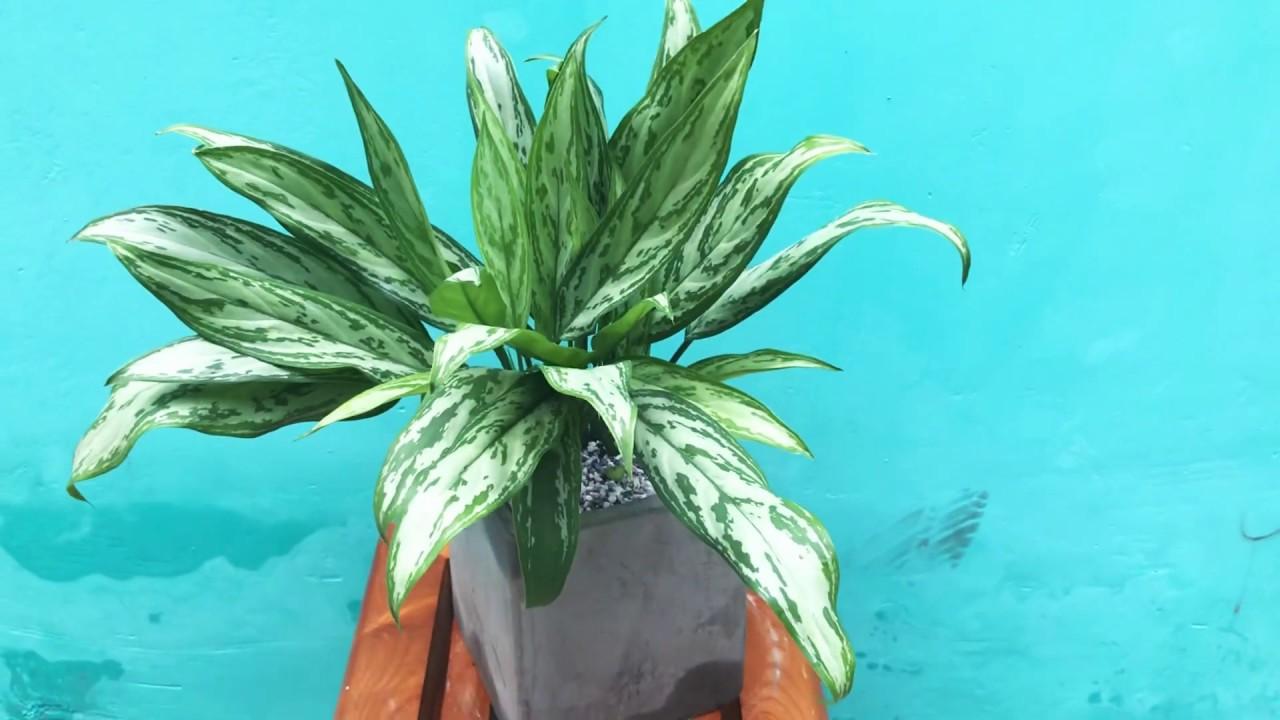 Cây Ngân Hậu – Ý nghĩa phong thủy cùng cách trồng và chăm sóc