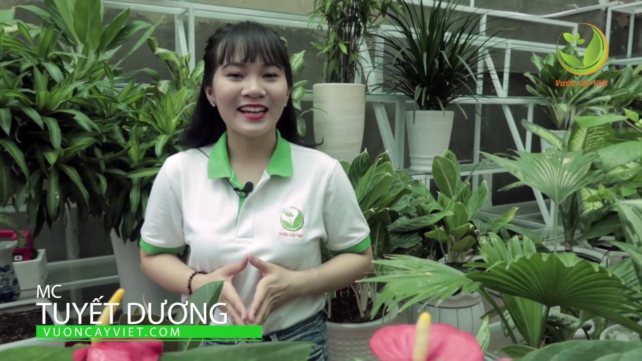 Cây Phú Quý: Cách chăm sóc và ý nghĩa phong thủy của cây