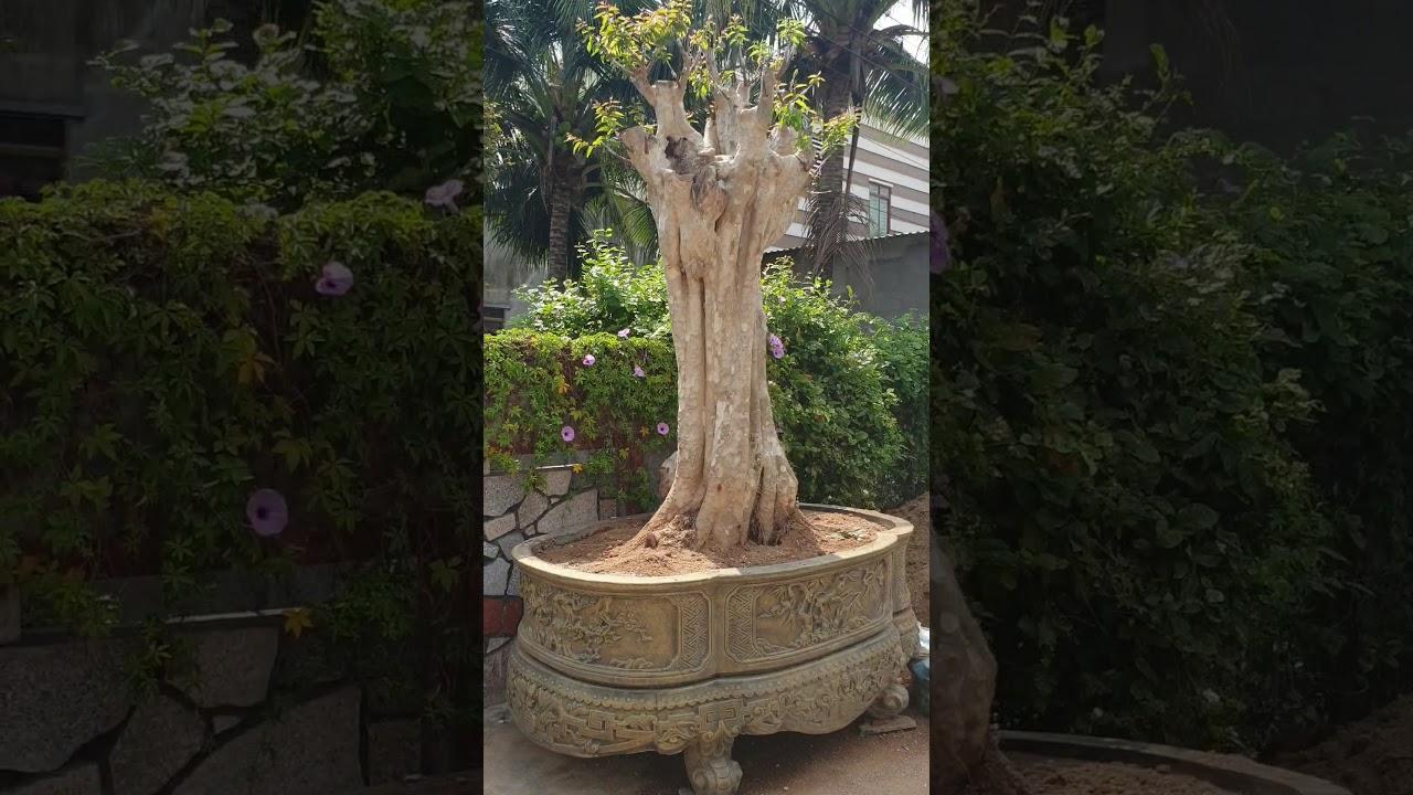 Cây Sân Vườn Đẹp