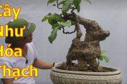 Cây bonsai như gỗ hoá thạch và một số cây mịn nghệ thuật-BShp(A Đại 0967828345)