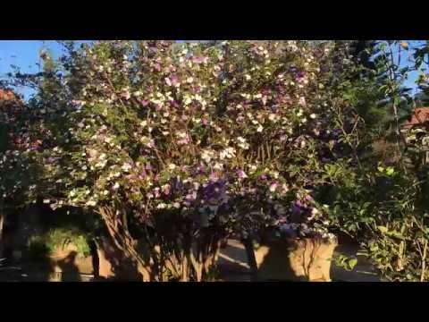 Cây cảnh Bảo Lâm review cây Hoa Nhài Nhật (Lài Nhật) đang trổ hoa