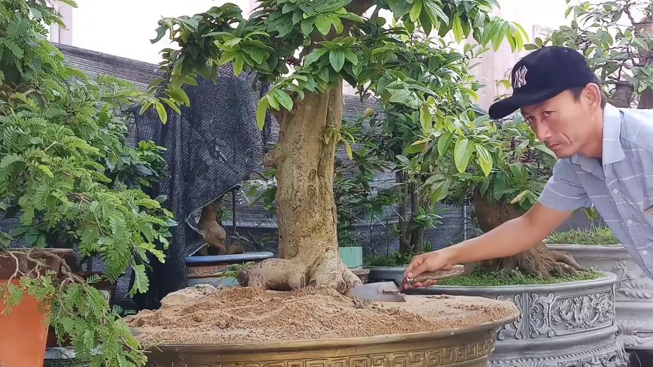Cây cảnh Hải Vũ tìm lại bộ đế đẹp cho cây mai