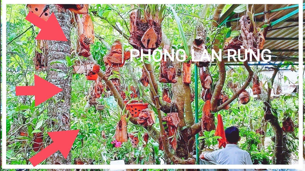 Cây cảnh Hoa lan và - Hướng dẫn cách ghép phong Lan rừng với các loại giá thể.