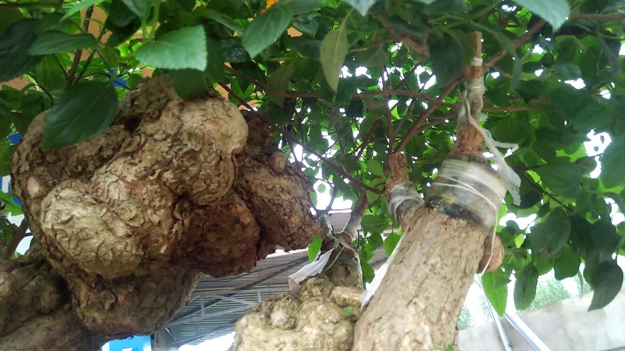 Cây cảnh bonsai nghệ thuật