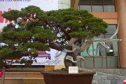 Cây cảnh nghệ thuật triển lãm, bonsai exhibition, dang tien thuy