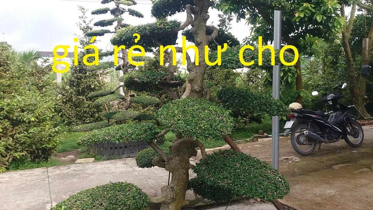 Cây duối bonsai nghệ thuật rất đẹp giá rẻ nhiều người mê @cây cảnh miền tây