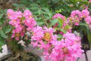 Cây hoa tường vi siêu đẹp nhà vườn phương mạnh, văn giang, hưng yên