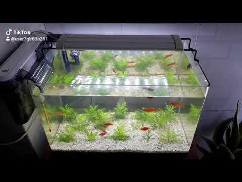Cây thủy cúc thủy sinh dễ trồng dễ sống