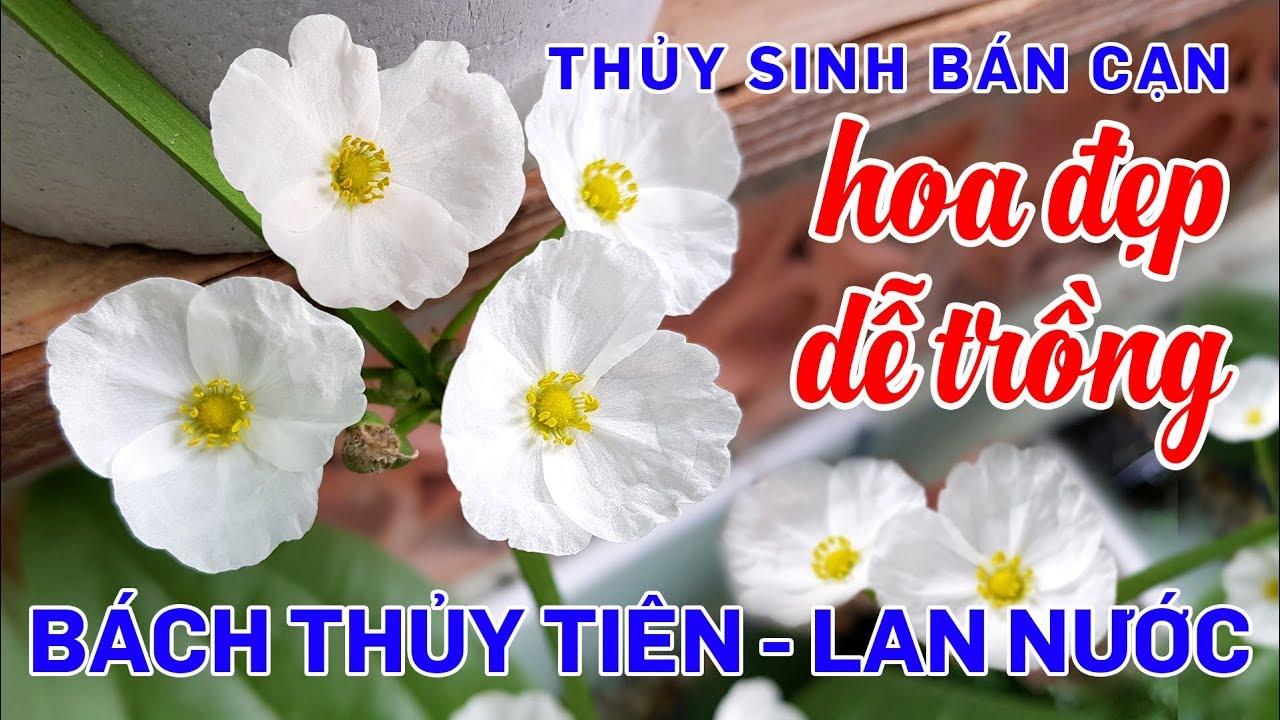 Cây thủy sinh bán cạn dễ trồng hoa đẹp, Bách thủy tiên - Lan nước - Quoidecor