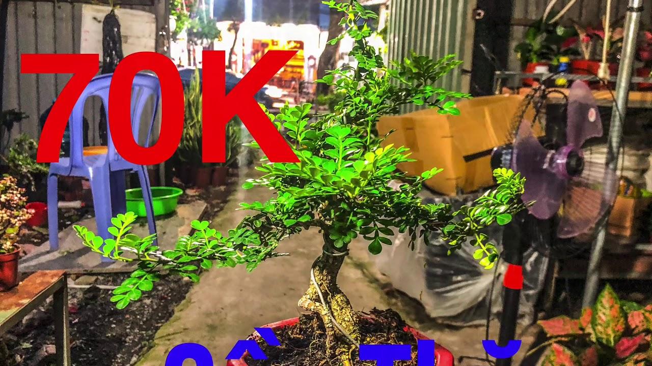 Cần Thăng Bonsai | Cần Thăng 70K | Cây Về 29/05/2020 | Cây Cảnh TV
