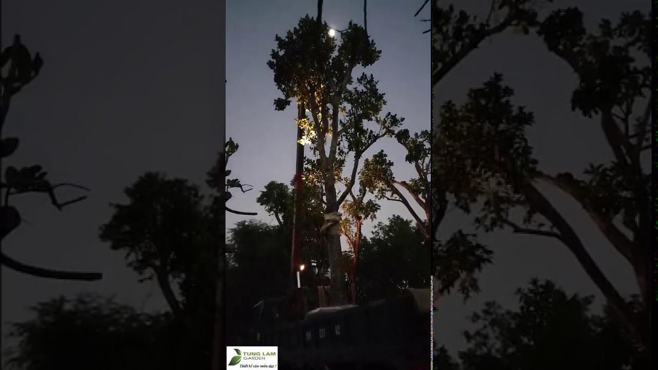 Cẩu cây đêm chuẩn bị trồng cây trang trí sân vườn hồ cá Koi biệt thự nhà chị Thủy