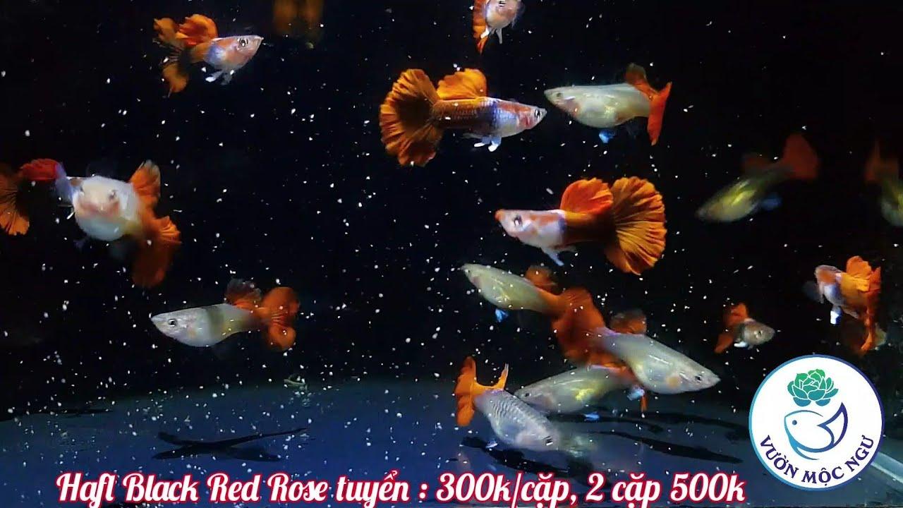 Cập Nhật Thêm 3 Dòng Cá 7 Màu Cực Đẹp |Vườn Mộc Ngư|