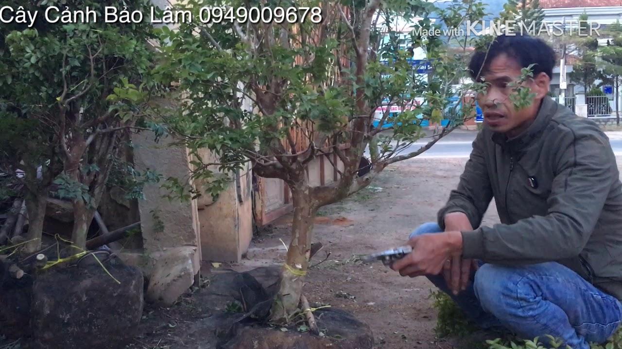 Cắt cây nho thân gỗ làm bonsai mini Cây cảnh Bảo Lâm