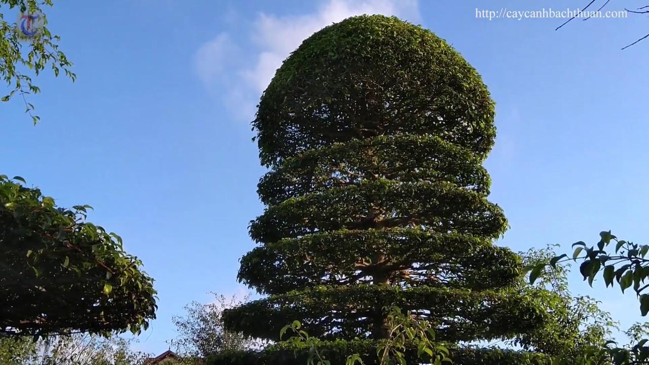 CORONA - Ra vườn ngắm ngắm cây cảnh cho tâm hồn thư thái