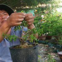 Chào ngày 5/5 lh 0937617477 mai chiếu thủy bonsai mini rẻ, cụm rừng.