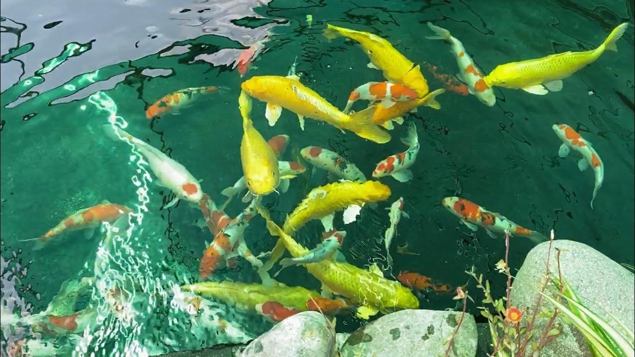 Chơi với cá koi sẽ giúp cá dạn người hơn
