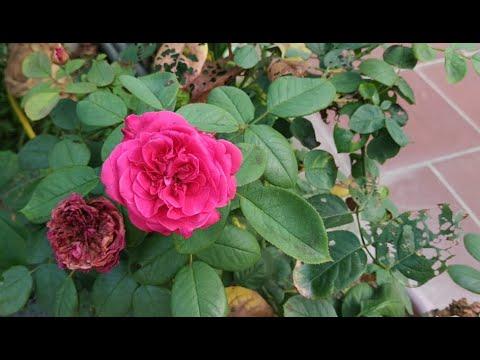 Chậu Cây Hoa Hồng Đỏ Đẹp Mắt(Growing Beautiful Red Roses Plant On A Pretty Pot || Ẩm Thực Trang Làm