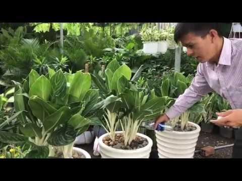 Chậu cây Bạch Mã Hoàng Tử - Hoàng Nguyên Green