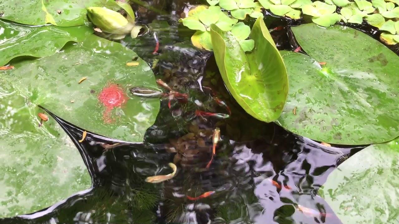 Chậu cây cảnh làm hồ cá thủy sinh