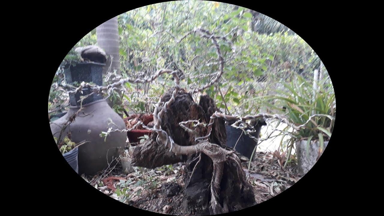 Chỉnh sửa cây Túc bonsai tiểu cảnh đồi đất sân vườn