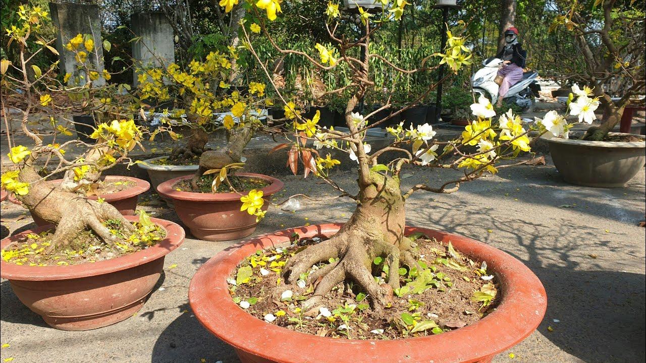 Chợ hoa tết 2020   Phát hiện cây mai hai màu đẹp kỳ lạ   Bonsai miền tây