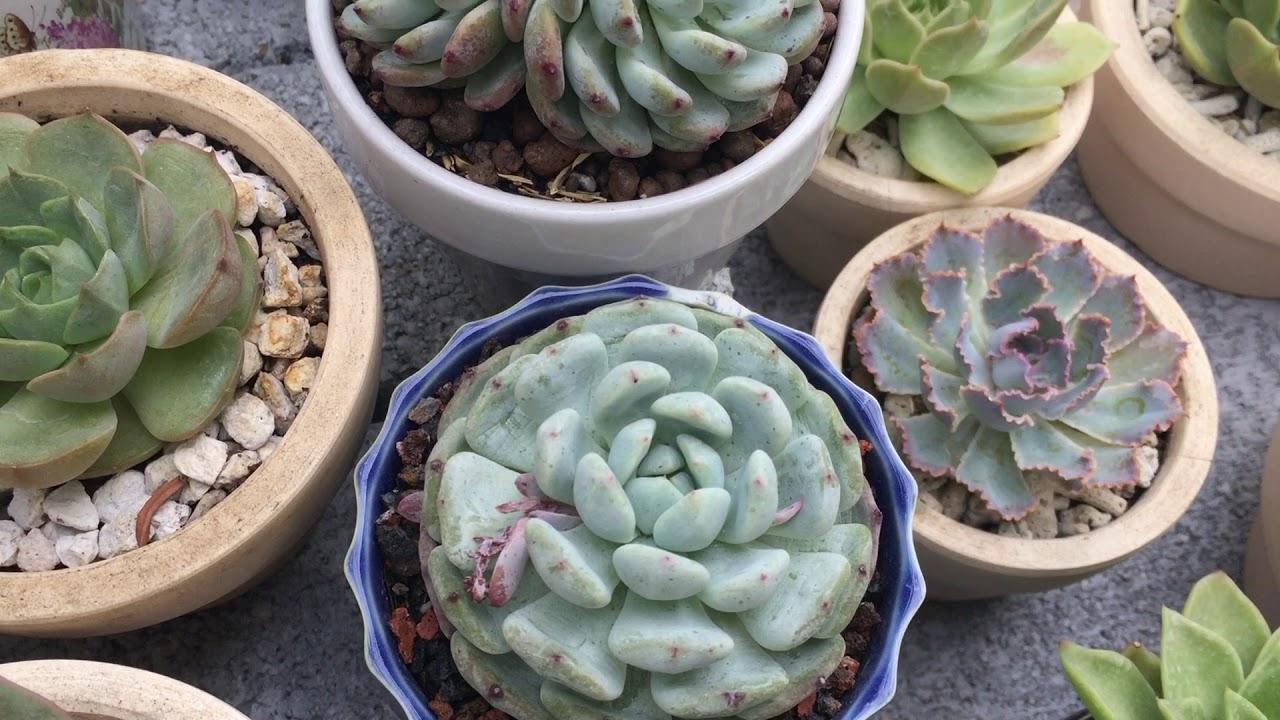 Chia sẻ cách trồng sen đá full nắng mưa