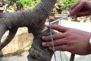 Chia sẻ kỹ thuật phẫu và thay chậu cho cây - How to repair bonsai trees