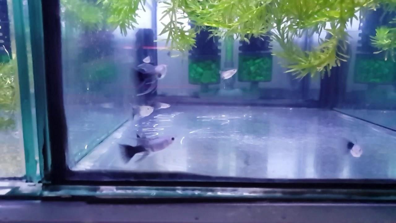 Chia sẽ : cách cho ăn cám cho hồ có rong hay cây thủy sinh
