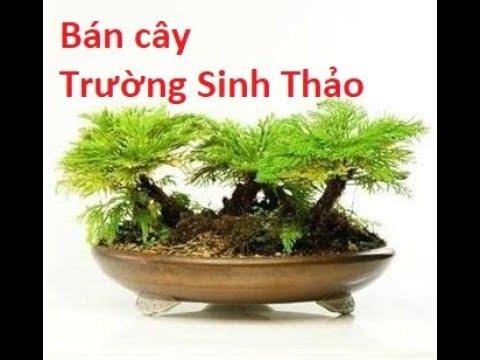 Cung cấp cây Trường Sinh Thảo trồng bonsai, tiểu cảnh, sân vườn