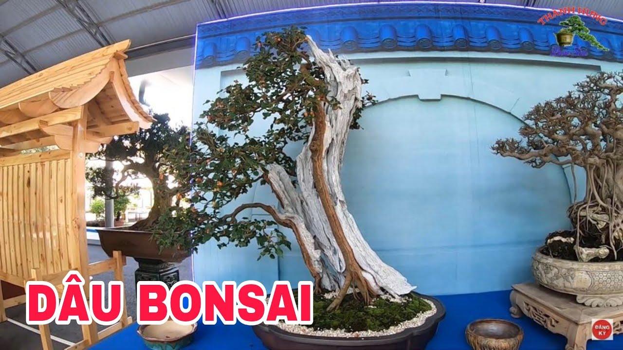 Dâu bonsai bạt phong nghệ thuật tại suối tiên
