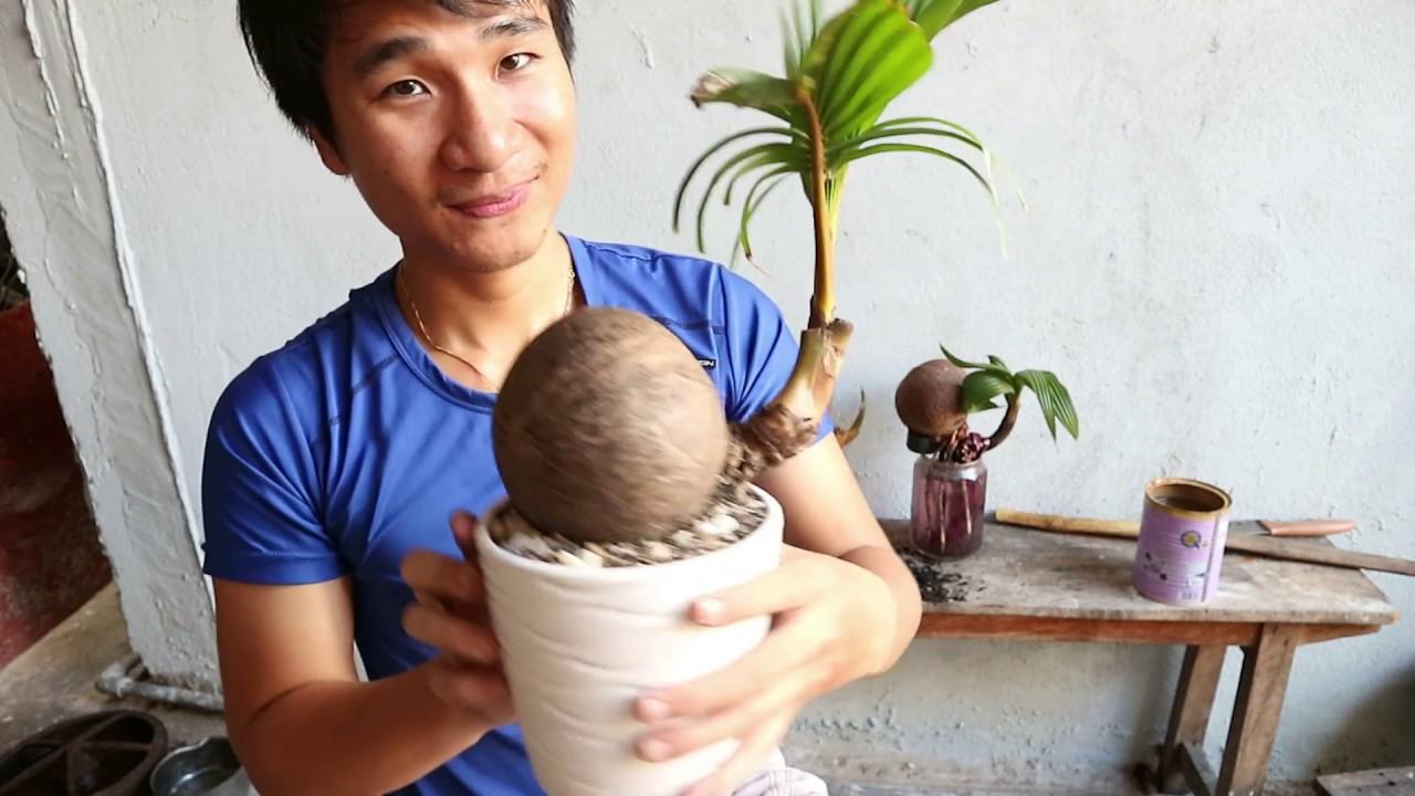 Dừa BonSai  -- Vô Chậu cây Dừa thứ 2 (kích rể thủy sinh)