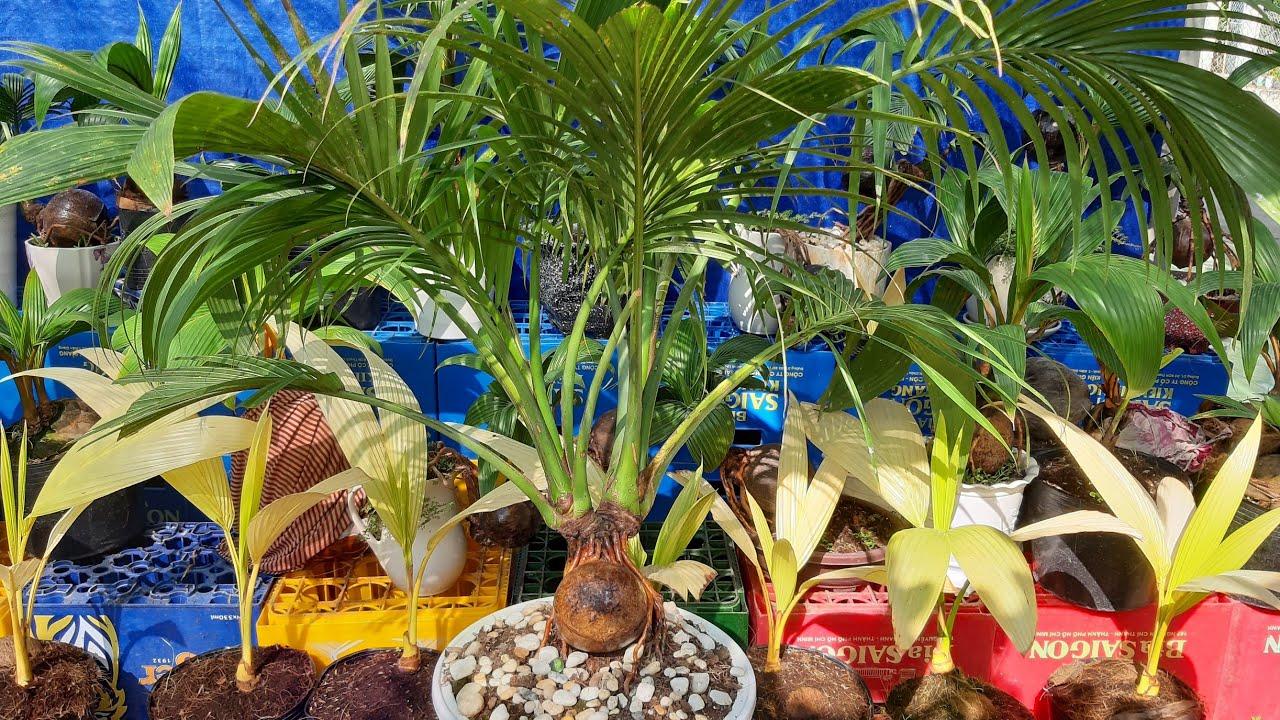 Dừa bonsai sân vườn độc lạ / planting cocobonsai in the garden / bonsaikelapa